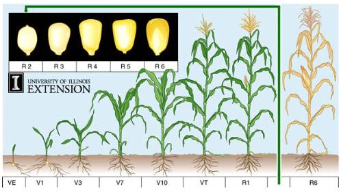 Fase pertumbuhan tanaman jagung.