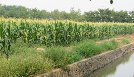 Tanaman jagung di lahan rawa.