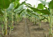 Tanaman pisang