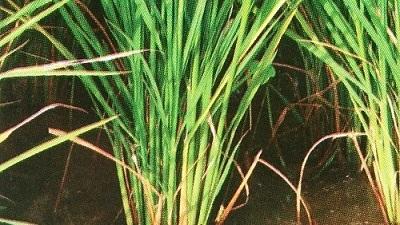 Anakan tanaman padi.
