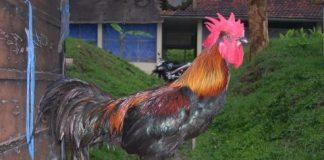 Ayam lokal Indonesia