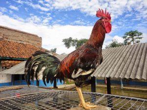 Ayam pelung jantan Cianjur