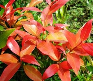 Daun tanaman hias pucuk merah.