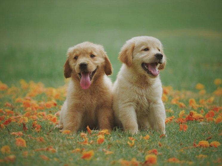 Menanggulangi Kutu Caplak Dan Pinjal Anjing Agrikan