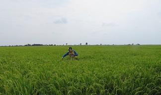 Sawah di Barito Kuala