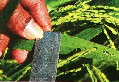Permukaan daun padi.
