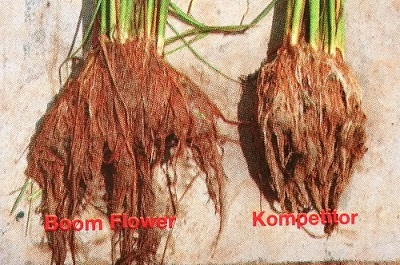 Akar tanaman padi.