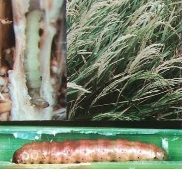 Larva penggerek batang tanaman padi.