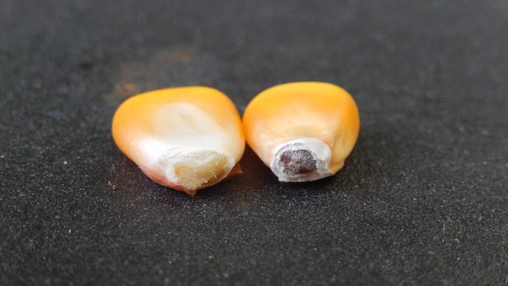 Dua buah biji jagung.