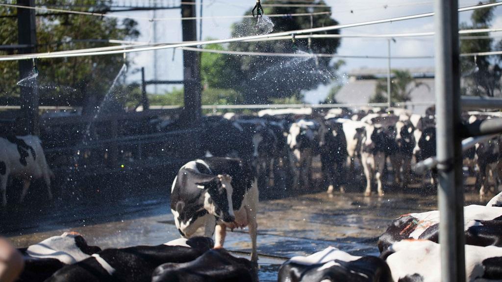 Memandikan sapi perah.