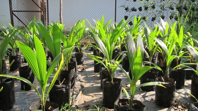 Bibit kelapa kopyor dari kultur embrio.