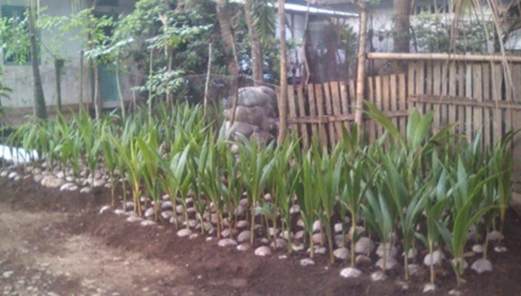 Bibit kelapa kopyor dari kultur konvensional.