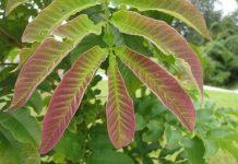 Khasiat daun sungkai mengatasi Covid-19