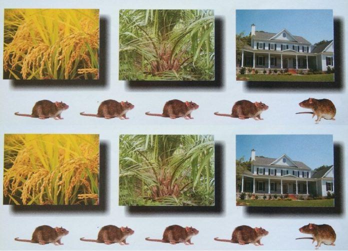 Racun tikus anti koagulan