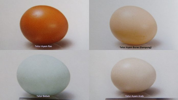Tentang telur tetas dan telur konsumsi.