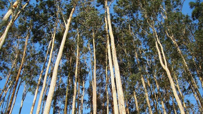 1,8-cineol dalam minyak atsiri eukaliptus bisa sebagai antivirus dan pencegah Covid-19.