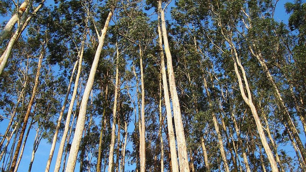 Kalau eukaliptus ini terbukti sebagi antivirus dan obat pencegah Covid-19, bisa menekan biaya pelayanan kesehatan.