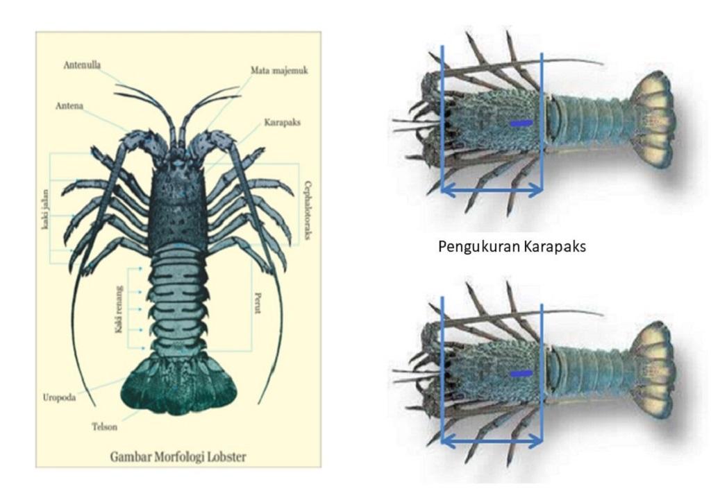 Secara garis besar, lobster terdiri atas kepala, badan, dan ekor.