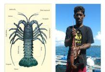 Nelayan menangkap lobster air laut.