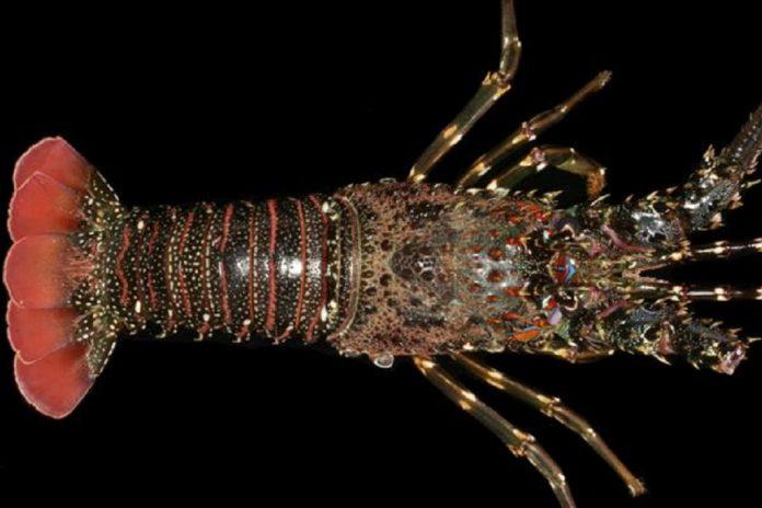 Nama perdagangan atau internasional lobster pasir ini adalah green scalloped rock lobster.