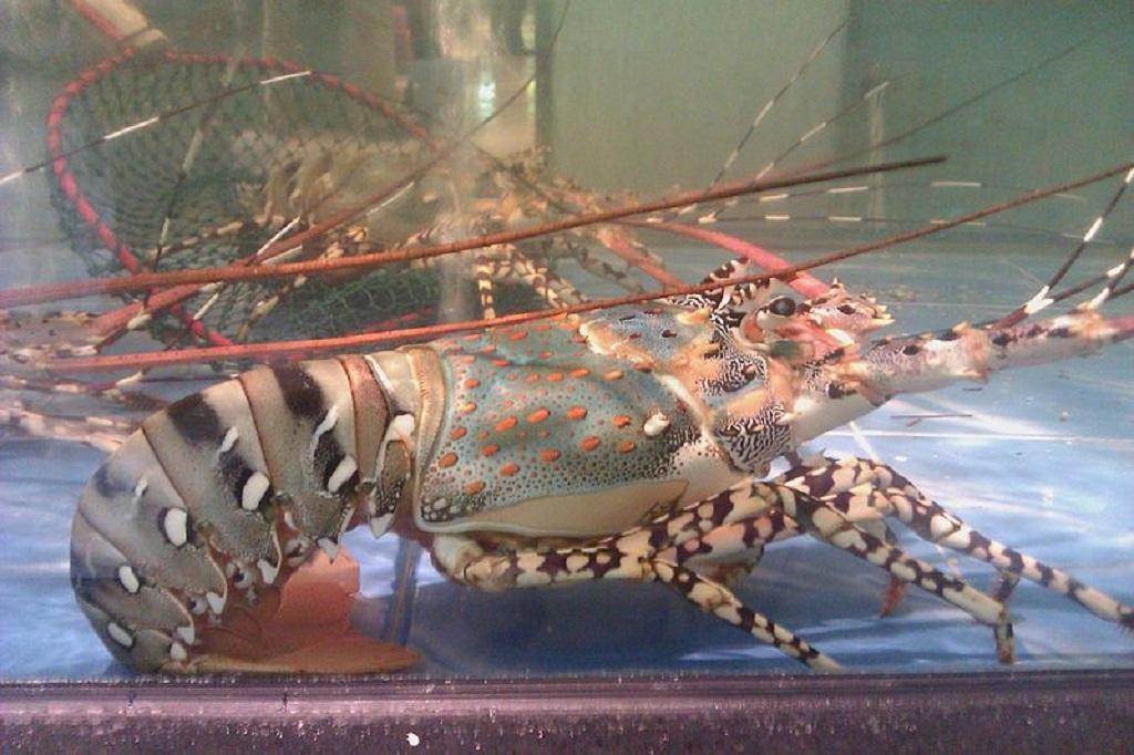 Nama perdagangan atau internasional lobster mutiara adalah green, fine pale spotted, atau zebra legs.