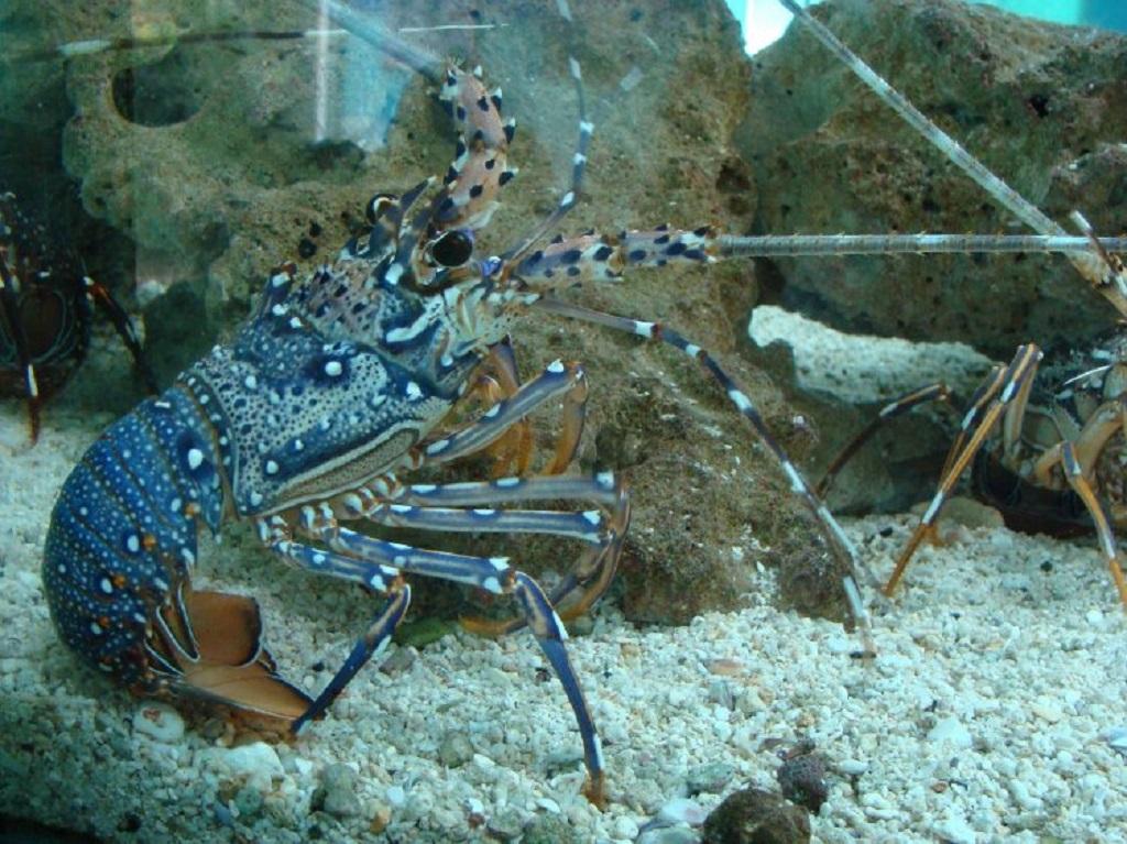 Lobster batu ini banyak ditemukan di perairan karang tidak jauh dari pantai.