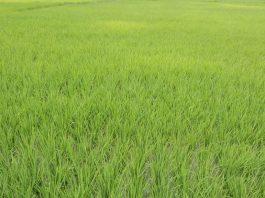 Produktivitas padi diukur dengan hasil padi dalam ton gabah kering giling per satuan hektar.