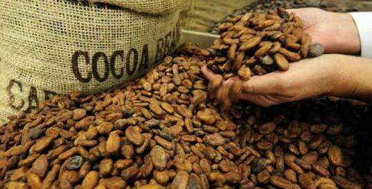 Jamur dan hama dapat menurunkan mutu biji kakao kering.