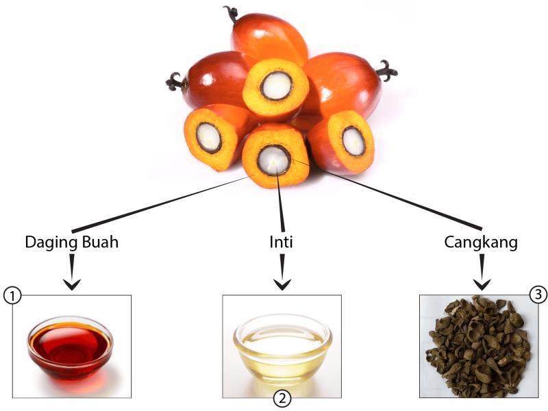 Dari buah kelapa sawit dapat dihasilkan minyak kelapa sawit, minyak inti sawit, dan cangkang.