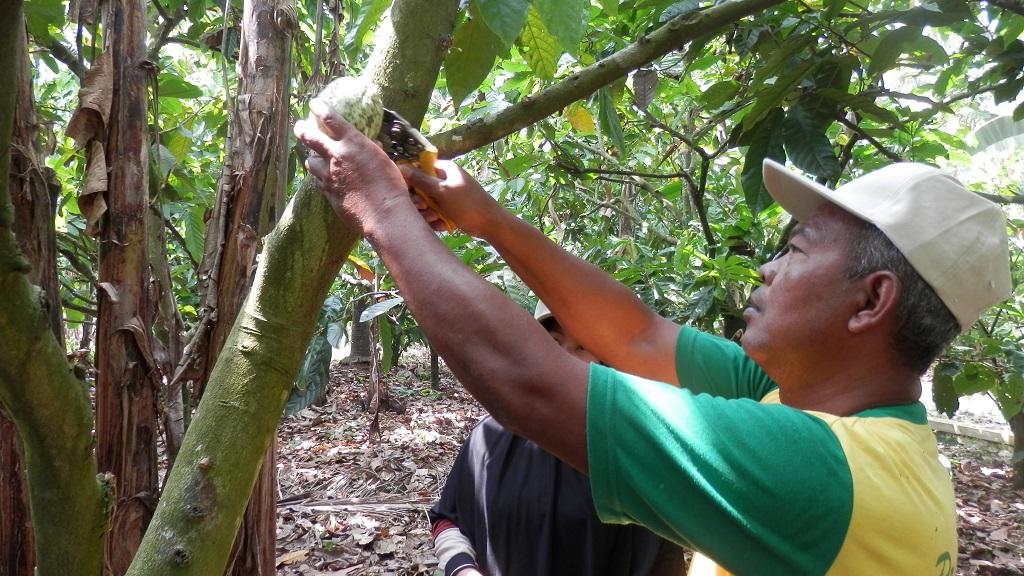Sekitar 5 – 6 bulan setelah proses penyerbukan bunga jantan dan betina tanaman kakao, buah kakao siap panen.