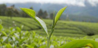 Daun teh untuk diolah menjadi teh putih, teh hijau, teh oolong, dan teh hitam.