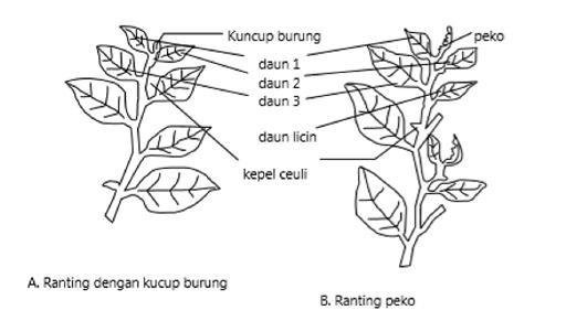 Daun pucuk teh terdiri atas peko, kuncup burung, daun 1, daun 2, daun 3, daun licin, dan kepel ceuli.