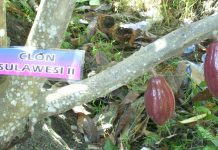 Pengolahan buah kakao menjadi biji kakao kering berkadar air 7% merupakan tahap awal pengolahan kakao.