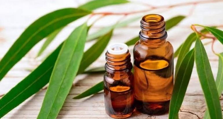 Kandungan eucapyptol di dalam minyak atsiri eukaliptus lebih dari 80%.
