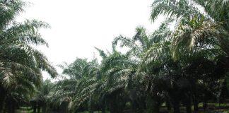 Masa produktif tanaman kelapa sawit sekitar 25 – 30 tahun.