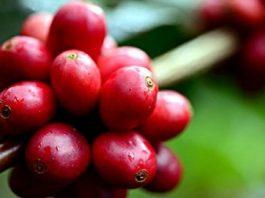 Pengolahan buah kopi ceri menjadi biji kopi kering melalui proses basah, kering, atau semi-basah.