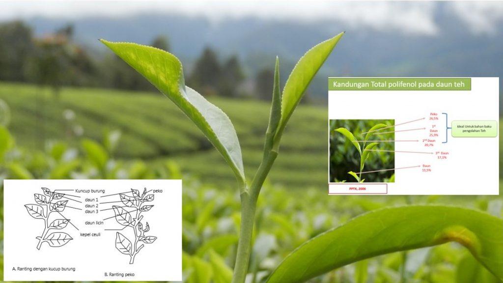 Peko dan daun muda tanaman teh serta kandungan polifenolnya.