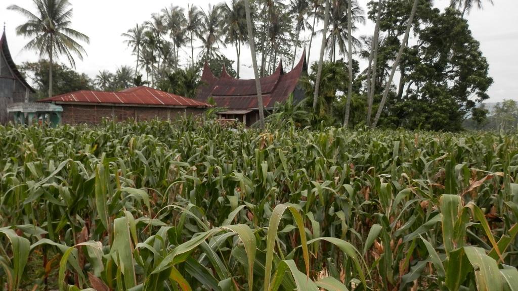 Tanaman jagung menghasilkan tongkol jagung, daun jagung, dan batang jagung.