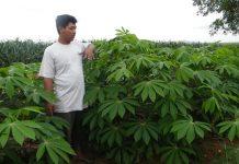 Produktivitas tanaman ubi kayu varietas Darul Hidayah sekitar 100 ton per hektar.