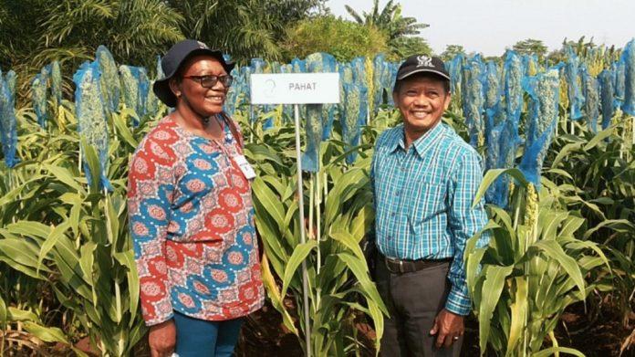 Sorgum varietas Pahat lebih terkenal di Afrika ketimbang di Indonesia.
