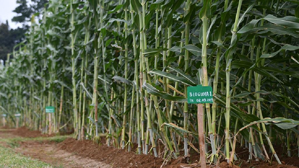 Varietas sorgum Bioguma merupakan perbaikan dari varietas Numbu.