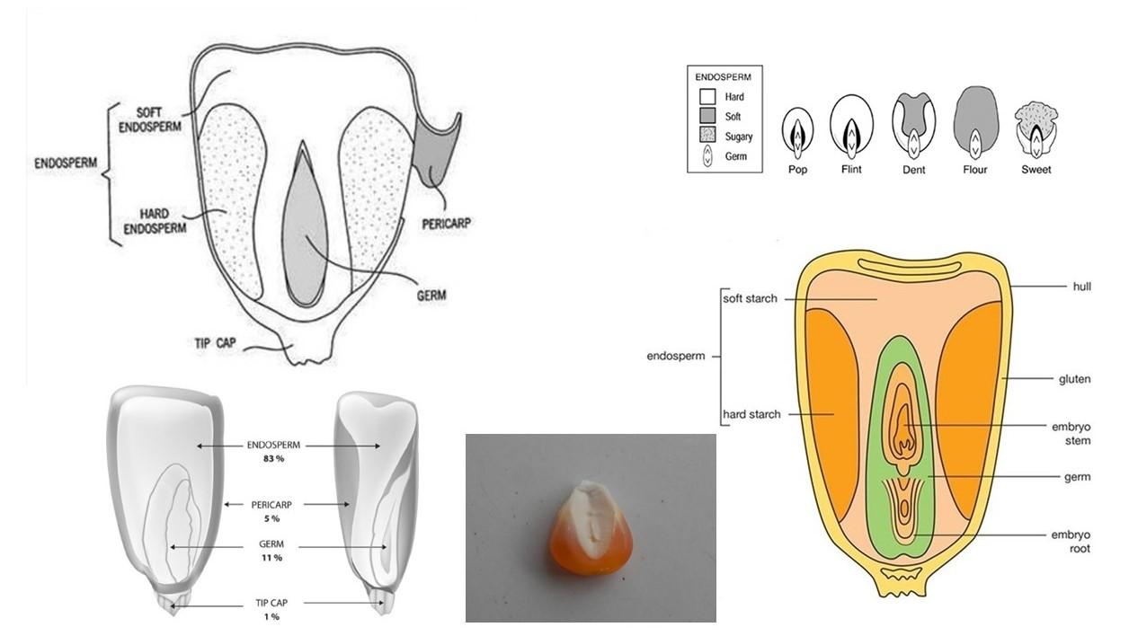 Secara struktural, biji jagung terdiri atas perikarp, lembaga, endosperma, dan tudung biji.