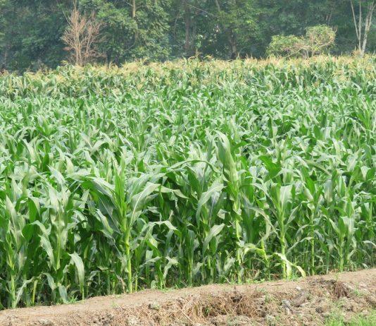 Jagung dapat digunakan sebagai bahan pangan, bahan baku industri pakan, industri olahan, dan bahan tanaman (benih).