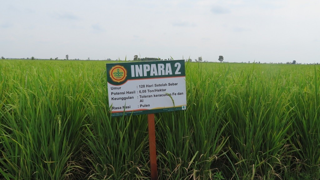 Padi Inpara 2 dipanen pada umur 128 hari setelah sebar dengan potensi hasil 6,08 ton GKG per hektar.