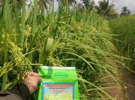 Padi hibrida Suppadi 89 tahan tumbuh di lahan kurang subur atau yang berpirit seperti di lahan rawa pasang surut.