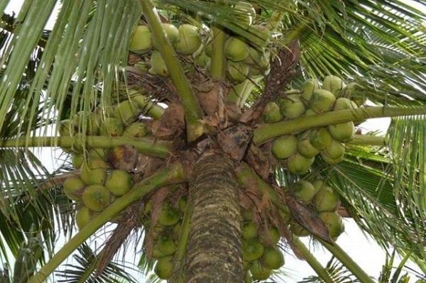 Tingkat kemanisan air kelapa Pandan Wangi Thailand sekitar 5 – 7,5 brix dan aroma pandannya lemah sampai sedang.