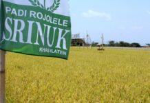 Padi Rojolele Srinuk dan Rojolele Srinar merupakan hasil kerjasama penelitian Batan dan Kabupaten Klaten, Jawa Tengah.