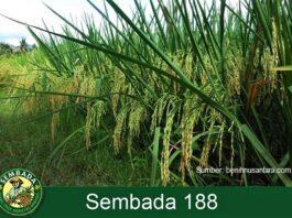 Rata-rata potensi hasil padi hibrida Sembada 188 sekitar 13 ton gabah kering giling (GKG) per hektar.