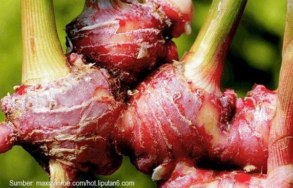 Rimpang jahe merah sudah biasa digunakan sebagai bumbu masak dan bahan baku obat herbal tradisional.