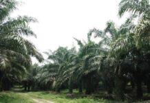 Tujuan penerapan ISPO adalah memelihara lingkungan, meningkatkan kegiatan ekonomi dan sosial, serta menegakkan peraturan perundang-undangan yang terkait perkebunan kelapa sawit.
